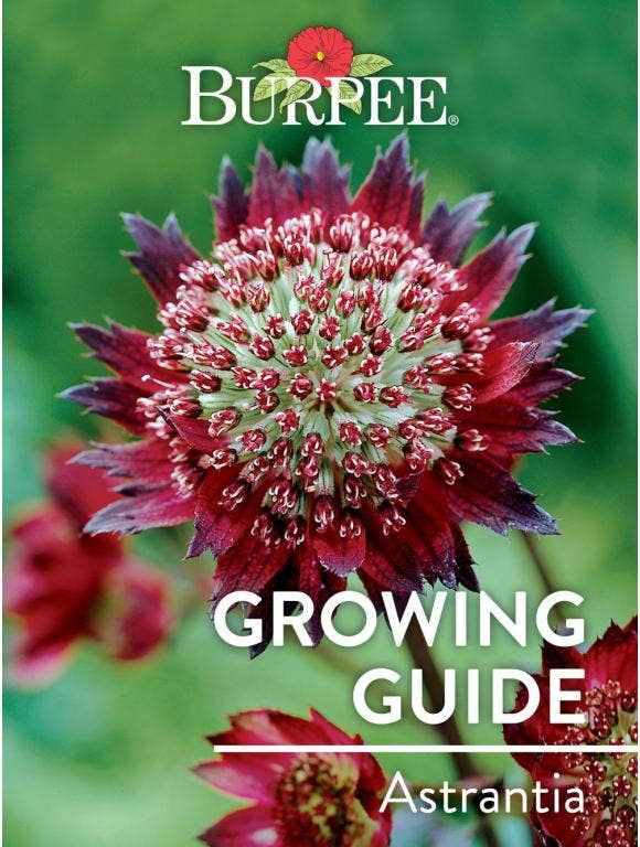 Learn About Astrantia