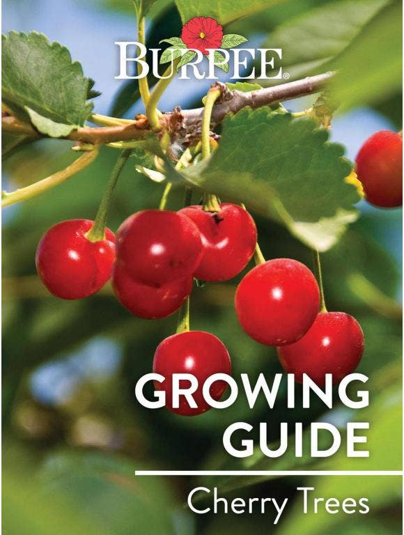 Learn About Cherry Trees