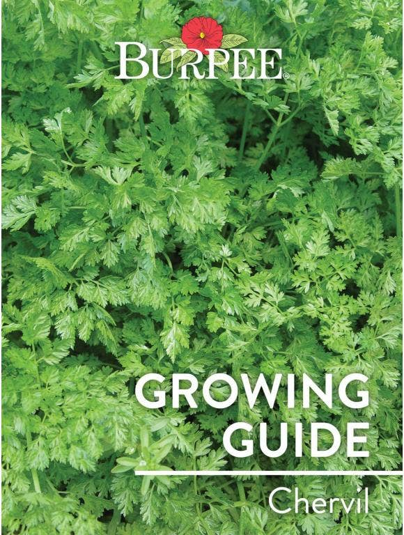 Learn About Chervil