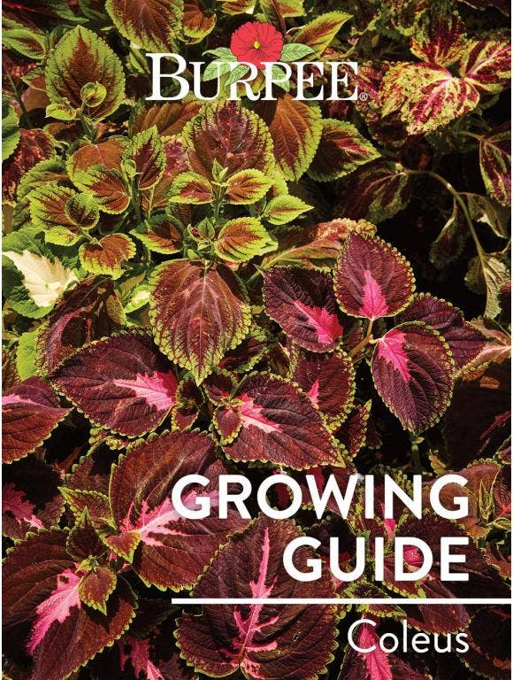 Learn About Coleus