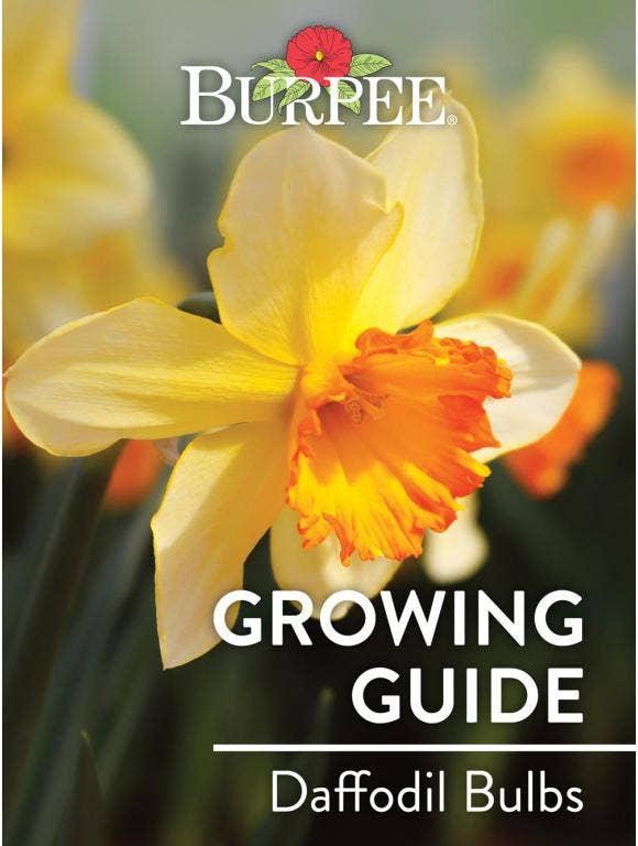 Learn About Daffodil Bulbs