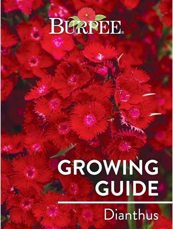 Learn About Dianthus