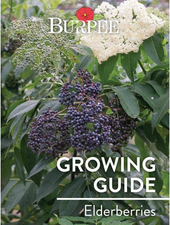 Learn About Elderberries
