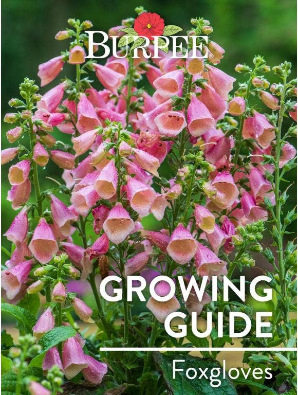 Learn About Foxgloves