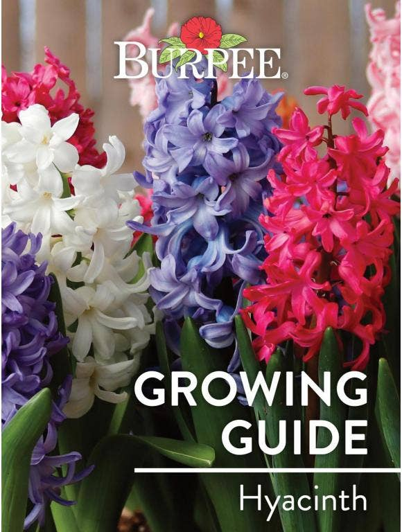 Learn About Hyacinth