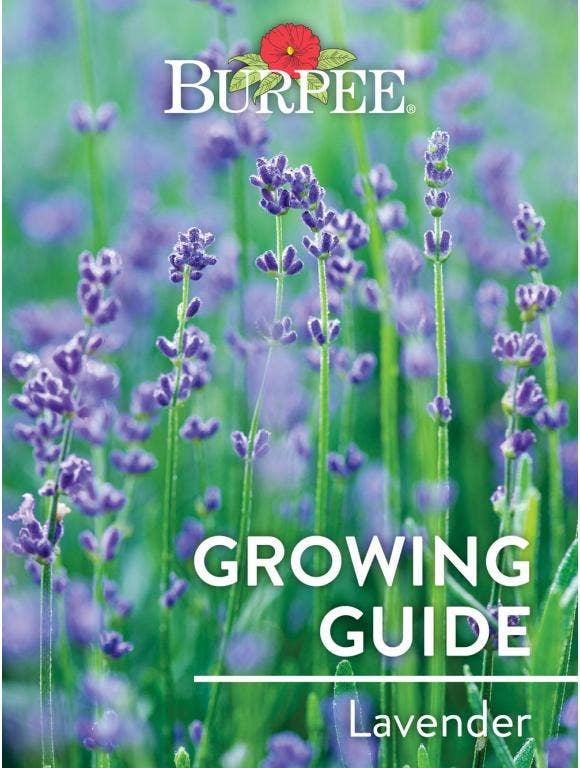 Learn About Lavenders