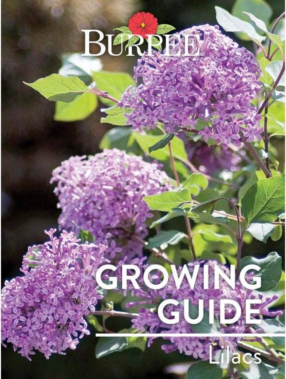 Learn About Lilacs