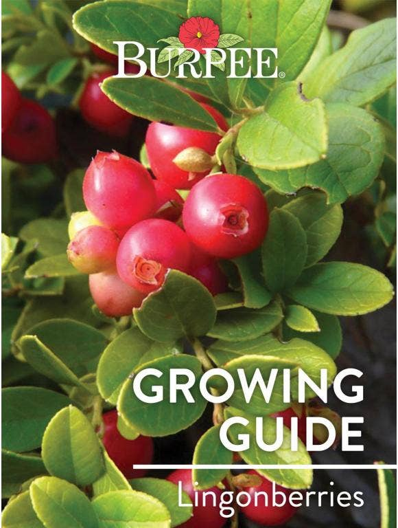 Learn About Lingonberries
