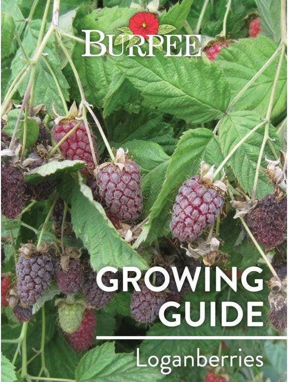 Learn About Loganberries