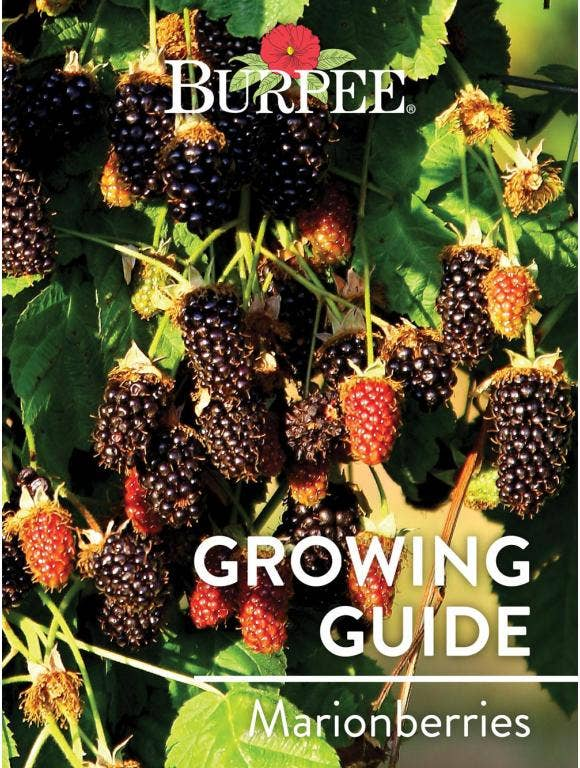 Learn About Marionberries