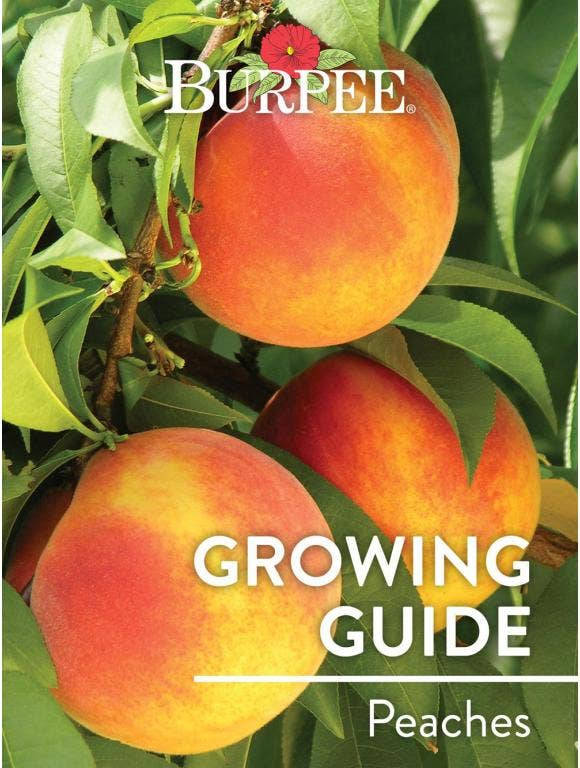 Learn About Peaches