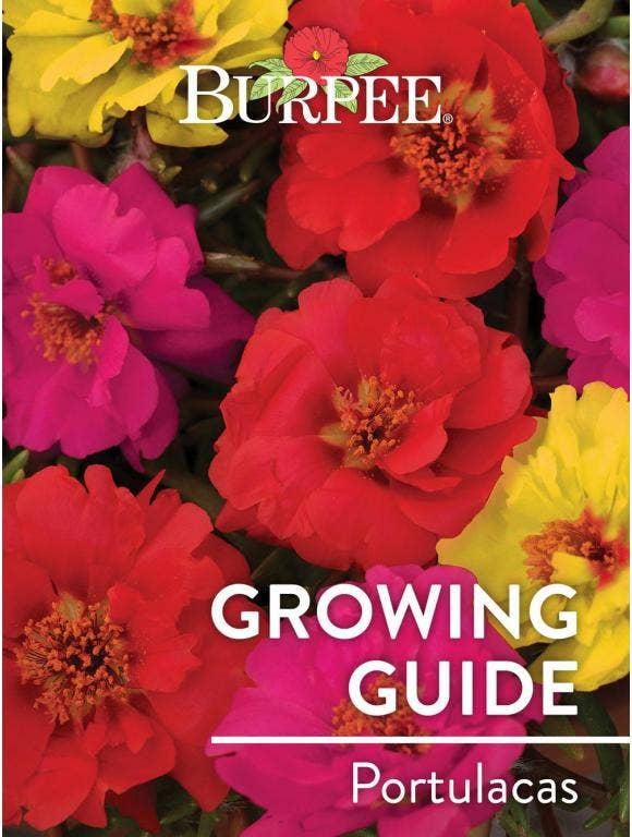 Learn About Portulacas