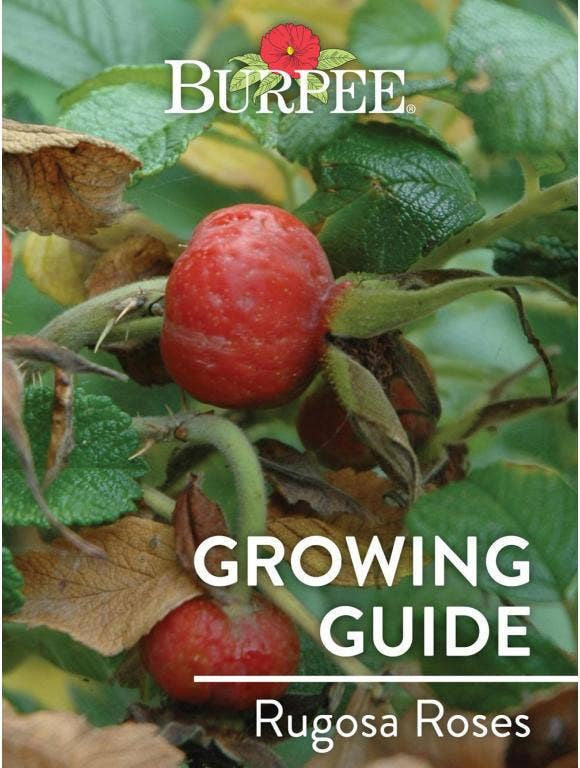 Learn About Rugosa Roses