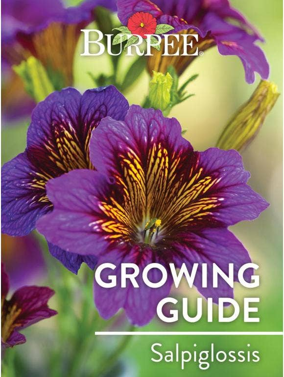 Learn About Salpiglossis