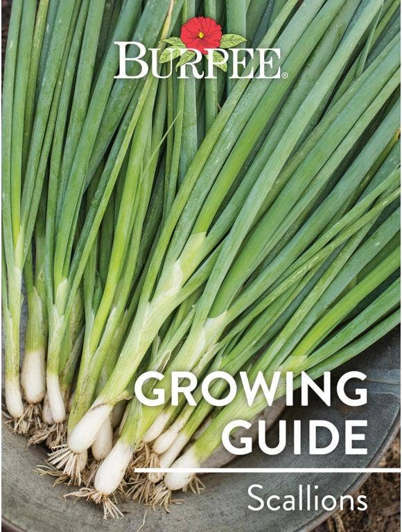 Learn About Scallions