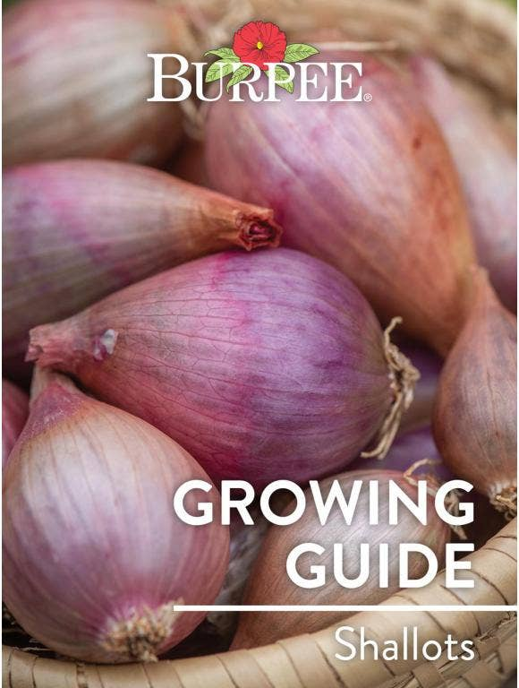 Learn About Shallots