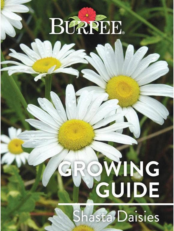 Learn About Shasta Daisies