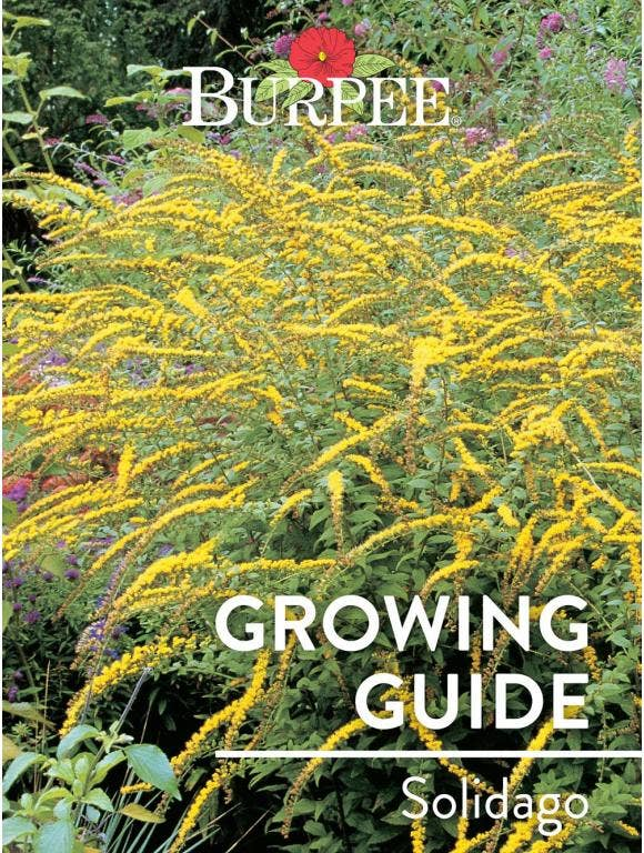 Learn About Solidago
