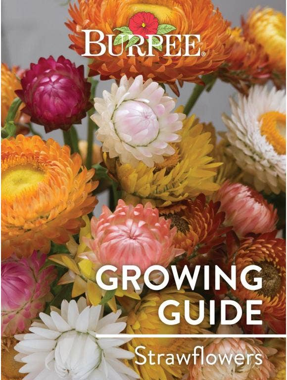 Learn About Strawflowers