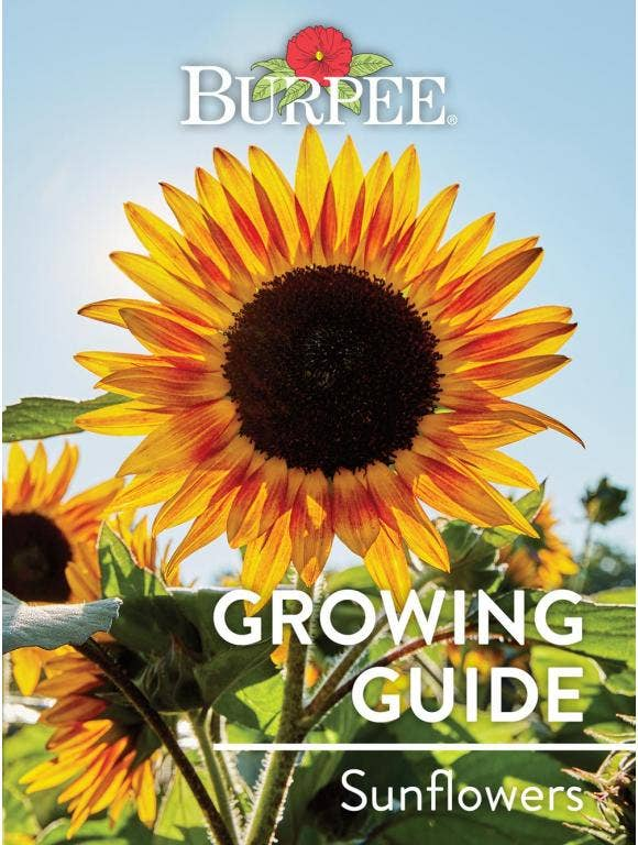 Learn About Sunflowers