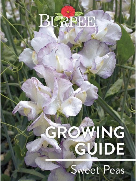 Learn About Sweet Peas