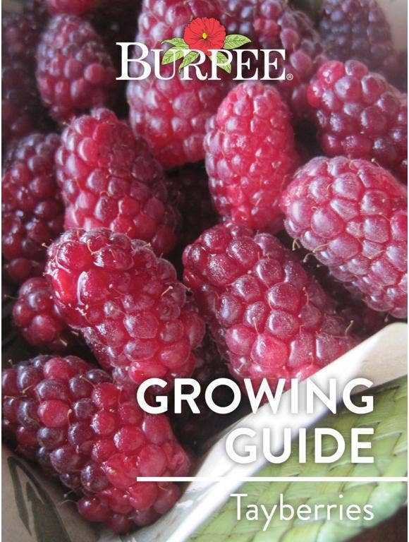 Learn About Tayberries