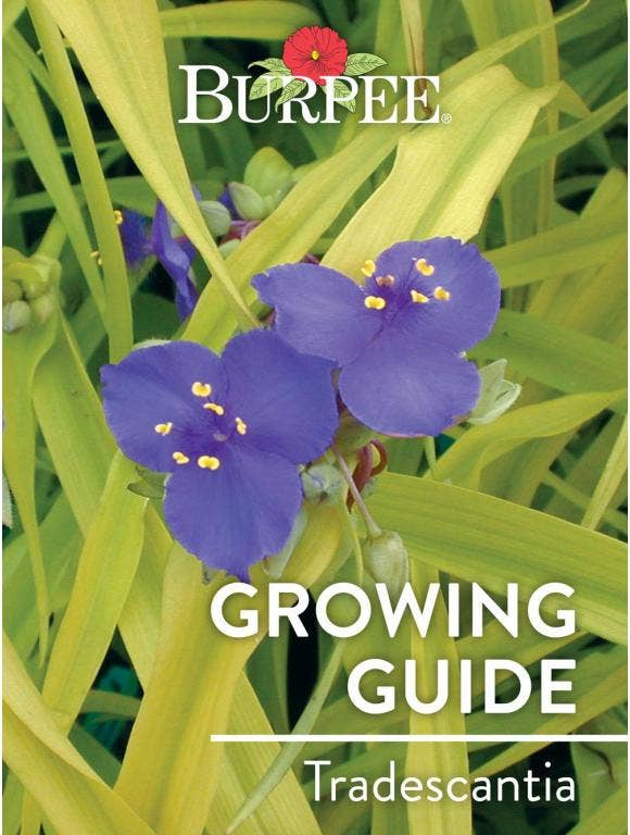 Learn About Tradescantia