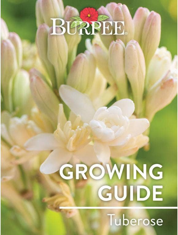 Learn About Tuberose