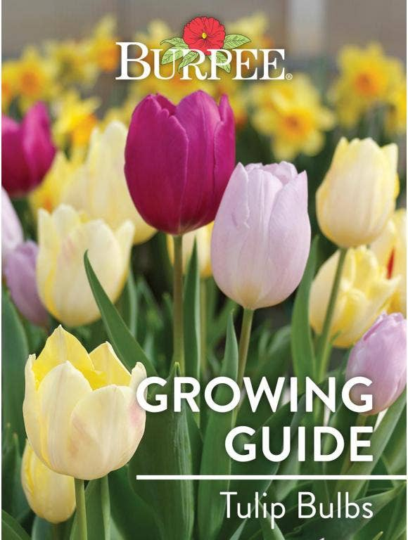 Learn About Tulip Bulbs