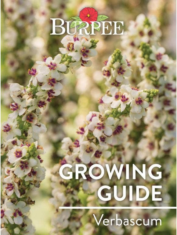 Learn About Verbascum