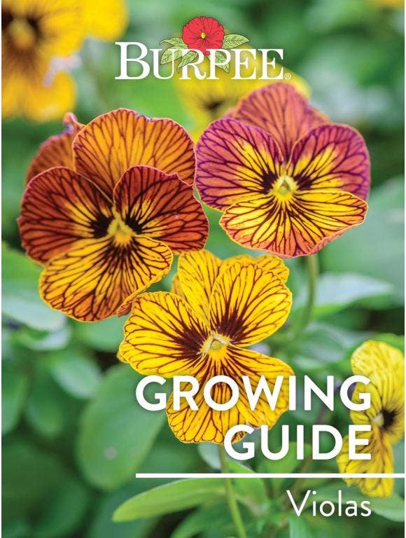 Learn About Violas