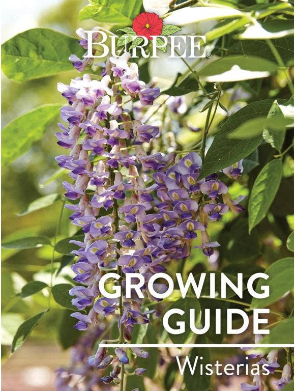 Learn About Wisterias