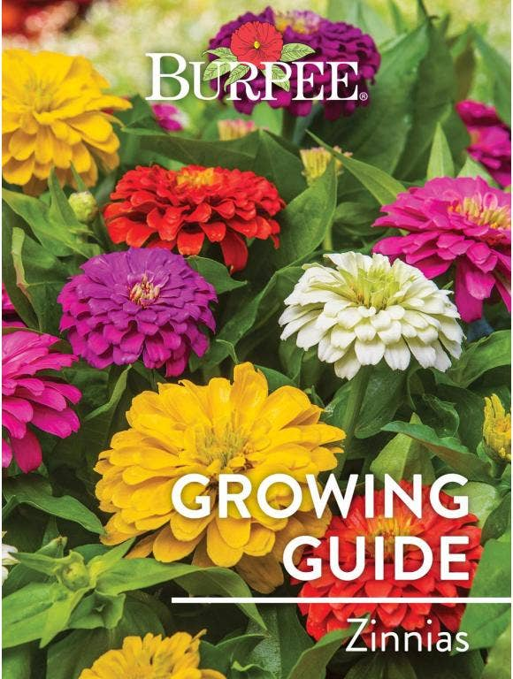 Learn About Zinnias