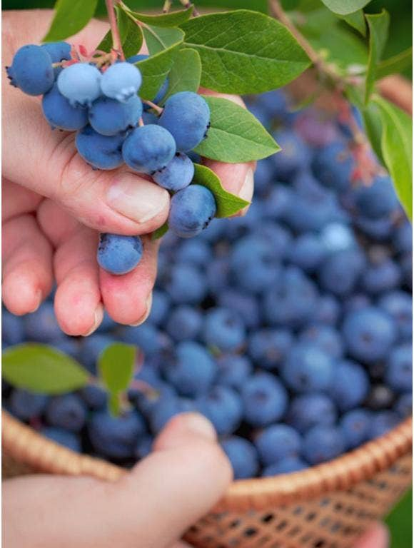How to Encourage a Strong Blueberry Harvest Season