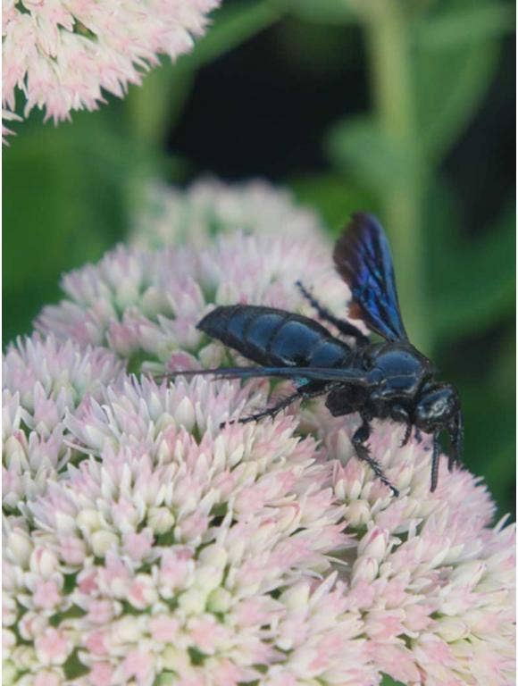 A great black wasp pollinates a light pink flower.