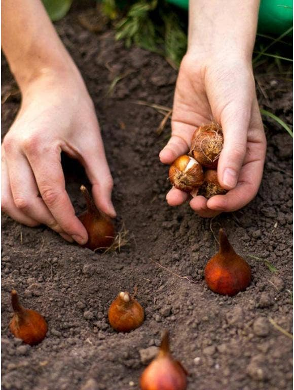 A person's hands planting bulbs in the dirt.