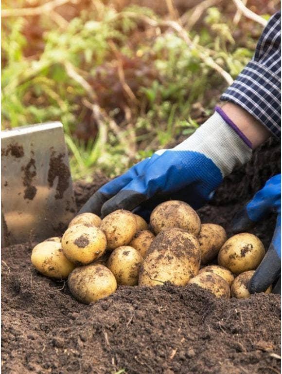 A gardener wearing gloves digs up potatoes.