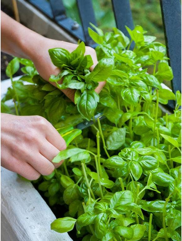 How to Grow Basil and Utilize it in Cooking