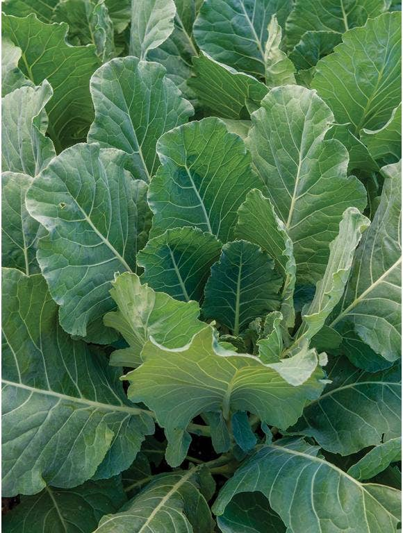 All About Collards