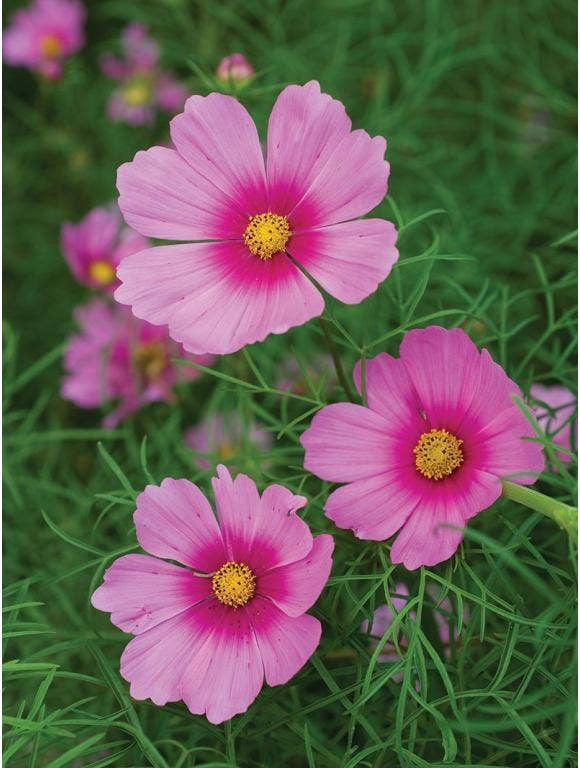 All About Cosmos