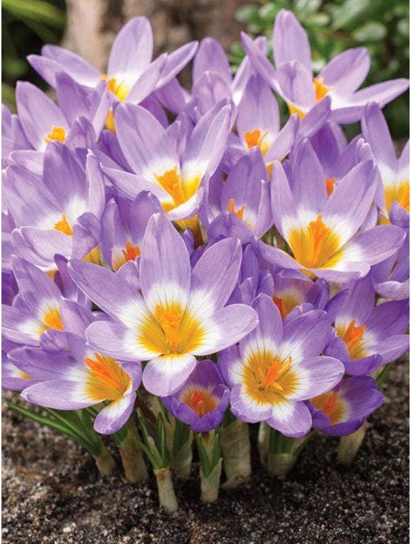 Earliest Spring Blooming Bulbs
