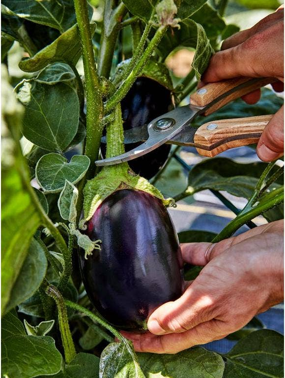 All About Eggplants