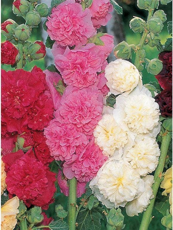 Planting Hollyhock Flowers