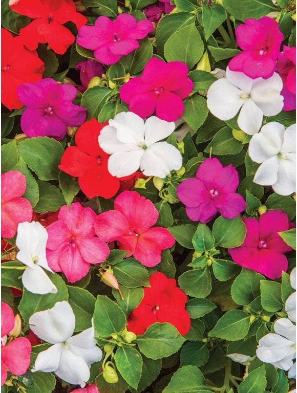 Growing Impatiens from Seed