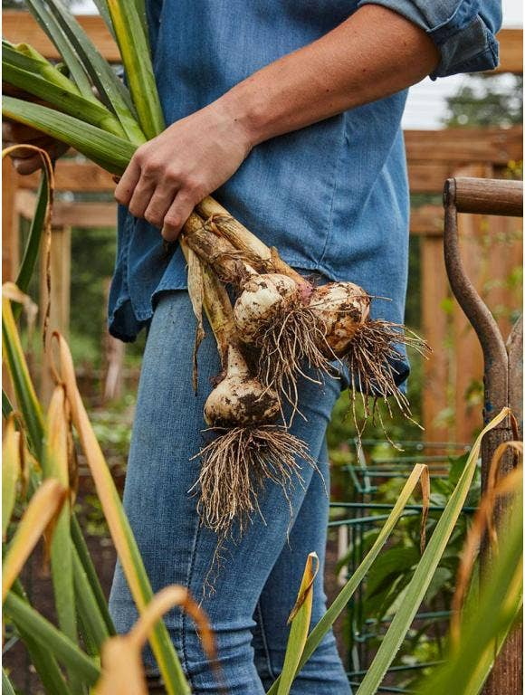 Which Type of Garlic Should I Grow?