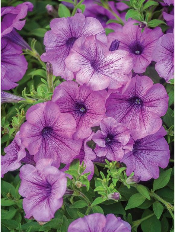 All About Petunias