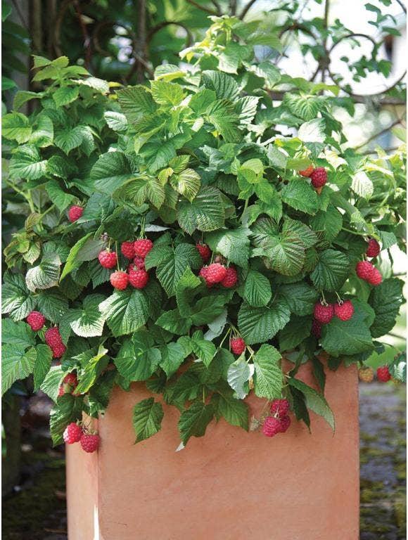 Growing Backyard Berries