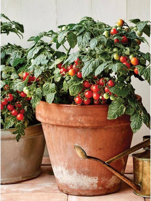 Growing Tomato Plants in Containers