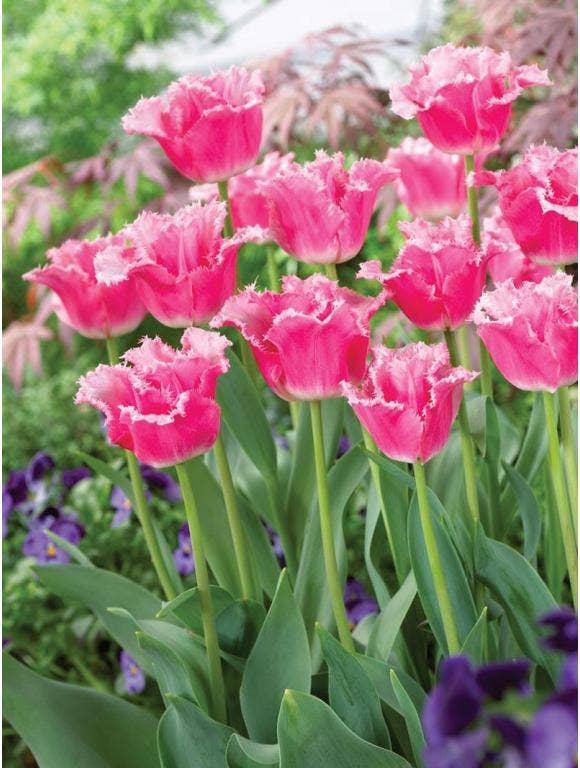 tulips in a garden