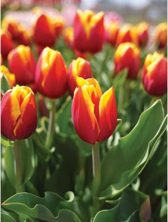 How to divide spring bulbs- Tulips, Daffodils, Crocus & more